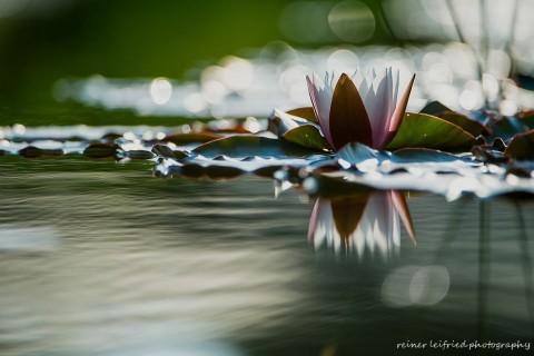 Seerose, Foto: Reiner Leifried